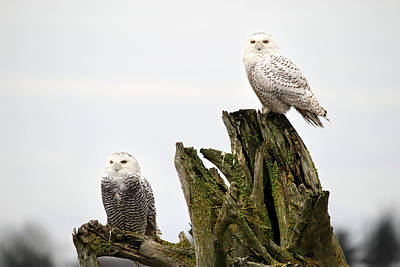 Photograph - Snow Owls Of Boundary Bay by Pierre Leclerc Photography