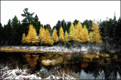 Photograph - Snow Paints Larch Grove by Wayne King