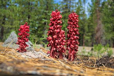 Photograph - Snow Plants by Richard Verkuyl