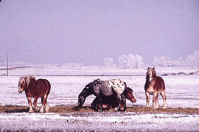 Photograph - Snow Ponies-1 by William Kimble