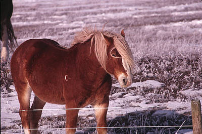 Photograph - Snow Ponies-2 by William Kimble