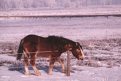 Photograph - Snow Ponies -3 by William Kimble