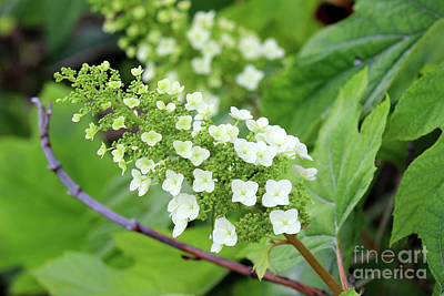 Photograph - Snow Queen Hydrangea by Karen Adams