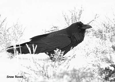 Photograph - Snow Raven Card by Britt Runyon