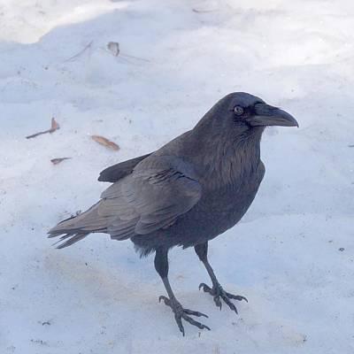 Photograph - Snow Raven by Eric Tressler