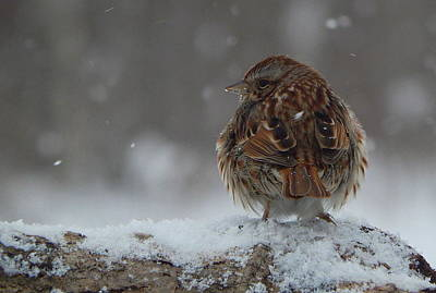 Sparrow Photograph - Snow Sparrow by Karen Cook