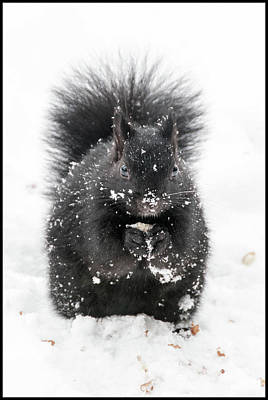 Photograph - Snow Squirrel by Geraldine Alexander