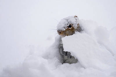 Photograph - Snow Squirrel by Terry DeLuco