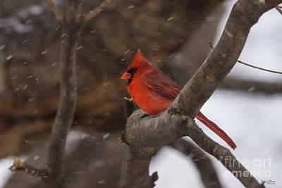 Photograph - Snow Storm Cardinal by Jennifer White