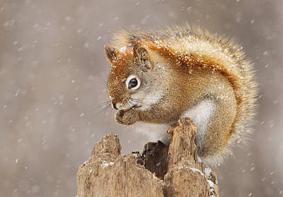 Squirrel Wall Art - Photograph - Snow Storm by Mircea Costina