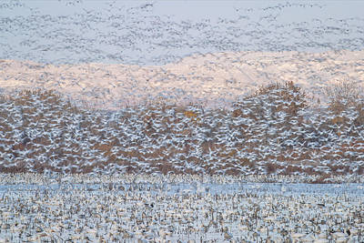 Snow Geese Photograph - Snow Storm by Nick Kalathas