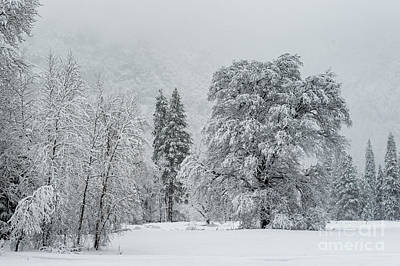 Photograph - Snow Storm Tree In Yosemite by Tibor Vari