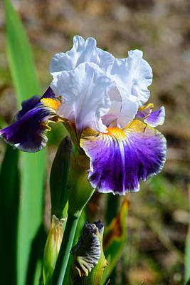 Photograph - Snow Top Iris by Tikvah's Hope