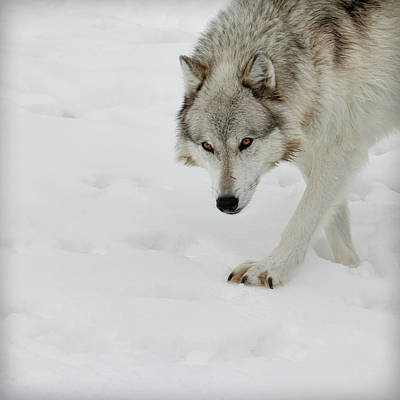 Photograph - Snow Tracker by Steve McKinzie