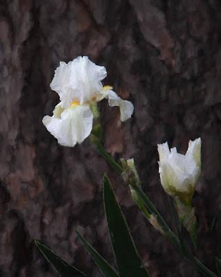 Snow White Iris On Pine Art Print