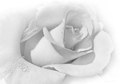 Photograph - Snow White Rose by Jennie Marie Schell