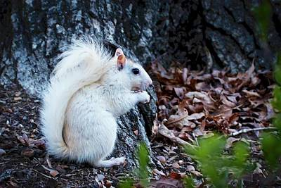 Photograph - Snow White......squirrel, by Flying Z Photography by Zayne Diamond
