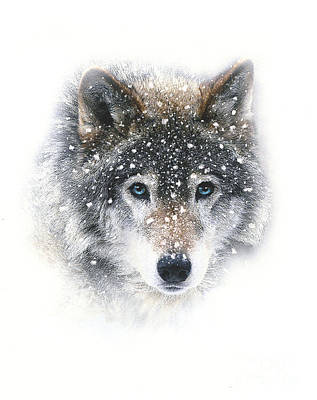 Pack Animal Mixed Media - Snow Wolf by Robert Foster