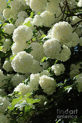 Photograph - Snowball Bush In Bloom by Carol Groenen