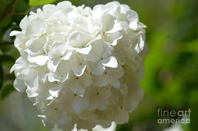Photograph - Snowball Hydrangea 2 by Maria Urso