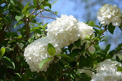 Photograph - Snowball Hydrangeas by Maria Urso
