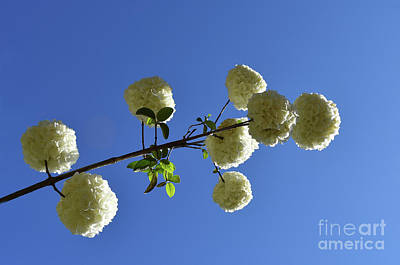 Photograph - Snowballs On A Stick by Skip Willits