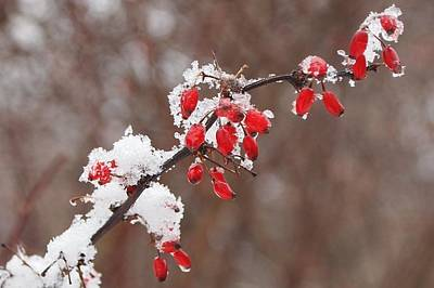 Photograph - Snowberries by Fred Bonilla