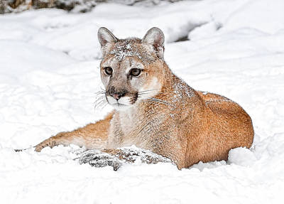 Photograph - Snowbound Cougar Style by Athena Mckinzie