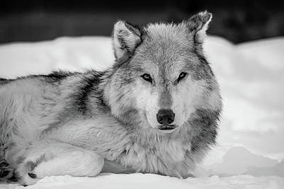 Photograph - Snowbound Wolf by Athena Mckinzie