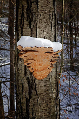 Photograph - Snowcapped Arrowhead Fungus by John Stephens