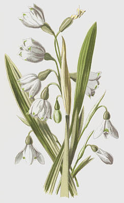 White Flower Drawing - Snowdrop And Snowflake by Frederick Edward Hulme