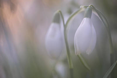 Snow Drops Photograph - Snowdrop by Ian Hufton