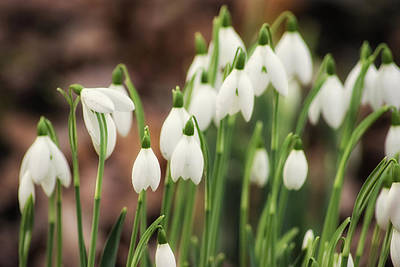 Snowdrops Wall Art - Photograph - Snowdrop by Martin Newman
