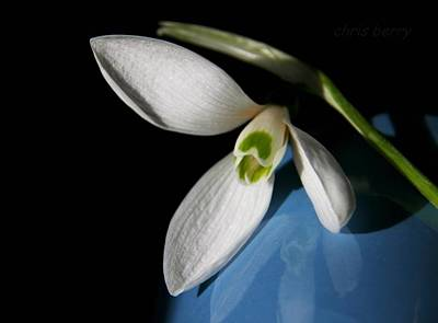 Photograph - Snowdrop On Blue And Black by Chris Berry