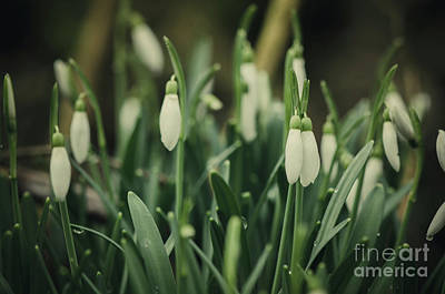 Photograph - Snowdrop Plant, Closed Flowers, Galanthus Nivalis by Perry Van Munster