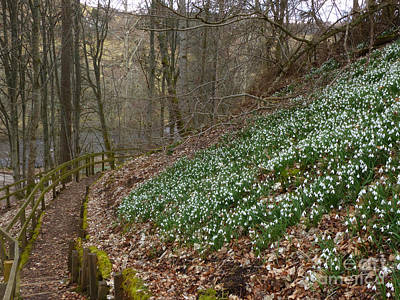 Photograph - Snowdrop Walk by Phil Banks
