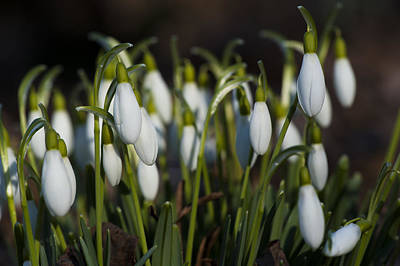 Photograph - Snowdrops by Dan Hefle