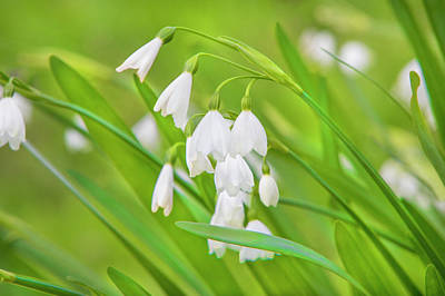 Photograph - Snowdrops by David Hare