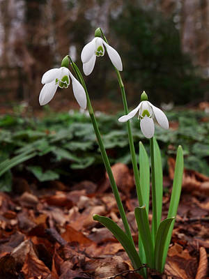 Photograph - Snowdrops In Woodland by Gill Billington