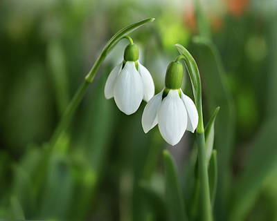 Photograph - Snowdrops by Mary Jo Allen