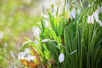 Photograph - Snowdrops by Rima Biswas