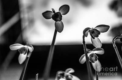 Photograph - Snowdrops Standing Tall by Ismo Raisanen