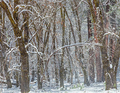 Photograph - Snowfall In Forest by Jonathan Nguyen