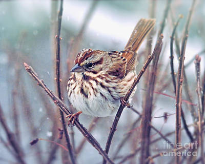 Photograph - Snowflakes On A Song Sparrow by Kerri Farley