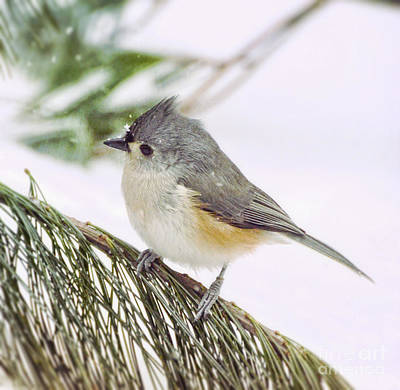 Photograph - Snowflakes On A Tufted Titmouse by Kerri Farley