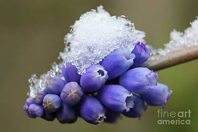 Photograph - Snowflakes On Grape Hyacinth by Julia Gavin