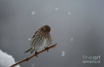 Siskin Photograph - Snowflakes  by Beve Brown-Clark Photography