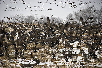 Cornfield Photograph - Snowgeese Galore by Susan Yates