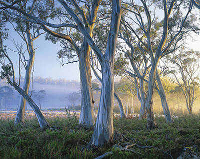 Snowgums At Navarre Plains, South Of Lake St Clair. Art Print by Rob Blakers
