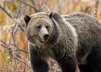 Photograph - Snow's Mama Bear by Shari Sommerfeld